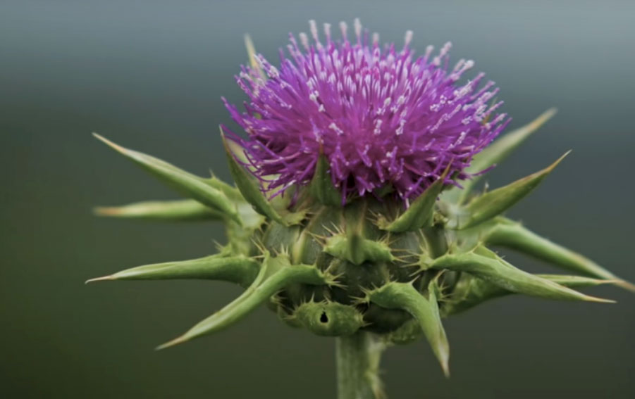 Milk-thistle-flower